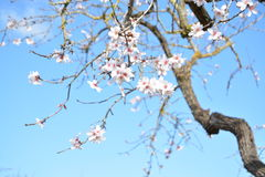 Flowering almond tree. White flowers in a blue sky backround Royalty Free Stock Photo