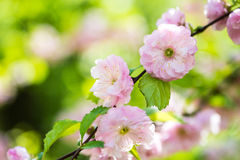 Flowering almond tree. Young spring flower, sun shine day Stock Photo
