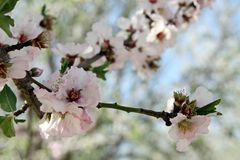 Flowering almond trees Royalty Free Stock Photo