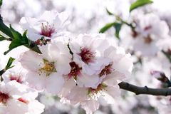 Flowering almond trees Stock Image