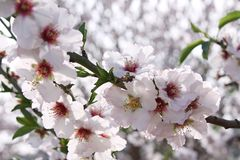 Flowering almond trees Stock Photography