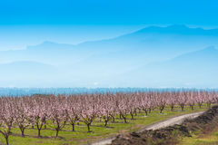Flowering almond trees against the background of mountains and blue sky. Copy space for text. Stock Image