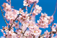 Flowering almond trees against blue sky. Close-up. Stock Photography