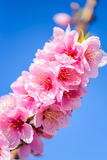 Flowering almond trees against  blue  sky, vertical, macro. Almond flower on blue sky background, vertical Stock Photography
