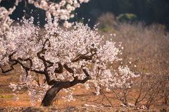 Flowering almond trees. Coppy space for text. Royalty Free Stock Image