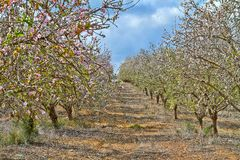 Flowering almond trees in the countryside stock image