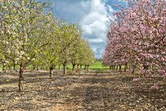 Flowering almond trees. In the countryside of Israel Spring stock photo