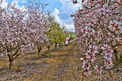 Flowering almond trees. In the countryside of Israel stock photos