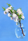 Flowering Almond in Vase Stock Images