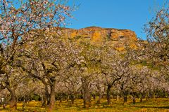 Flowering Almonds Stock Image