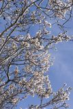 Flowering almonds against the sky. Royalty Free Stock Images