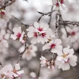 Flowering almonds backgound Stock Images