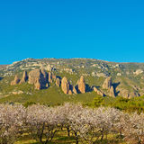 Flowering Almonds. Plantation of Flowering Almonds on a Background of Rocks in the Spanish Pyrenees Stock Photo