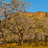 Flowering Almonds Royalty Free Stock Photos