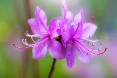 Flowering almonds. Spring flowering pink almond closeup royalty free stock photos