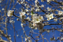 Flowering almonds. Springtime. Royalty Free Stock Image