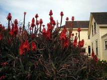 Flowering Aloe Clusters at Wilder Ranch Royalty Free Stock Photography