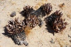 Flowering aloe in the namibia desert Stock Photography