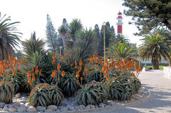Flowering aloes and the lighthouse in Swakopmund, Namibia. Flowering aloes with the lighthouse in the background. Swakopmund, Namibia Stock Image