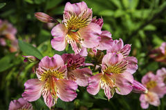 Flowering Alstromeria in a garden. Royalty Free Stock Image
