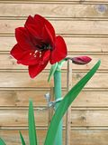 Flowering amaryllis - hippeastrum 2 Stock Photos