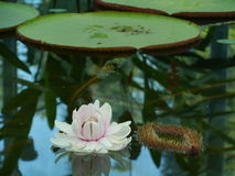 A flowering amazone water lily. (Victoria Amazonica) in a pond in the botanic garden in Adelaide in Australia Royalty Free Stock Photo