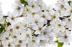 Flowering apple blossom branches Royalty Free Stock Photo