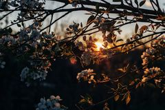 Flowering Apple branches at sunset in the natural environment natural close-up. royalty free stock image