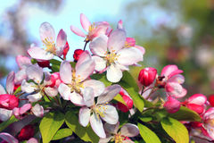 Flowering apple bush at springtime. Pink and white flowering apple bush at springtime royalty free stock image