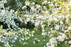 Apple tree branches full, rich in flowers royalty free stock photo