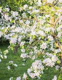 Apple tree branches full, rich in flowers stock images