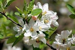 Flowering apple. Spring Royalty Free Stock Photos