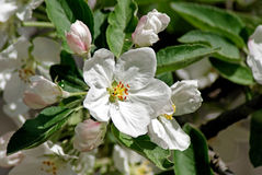 Flowering apple. Spring Stock Photography