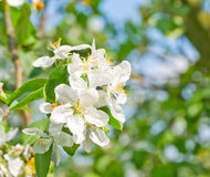 Flowering apple Stock Images