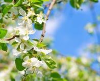 Flowering apple Royalty Free Stock Photo