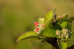 Flowering of apple tree. Stock Image