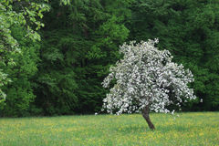 Flowering apple tree Stock Photography