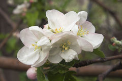 Flowering apple-tree Stock Images