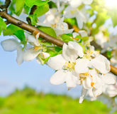 Flowering apple tree. In spring time royalty free stock images