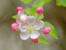 Flowering apple tree bloom and some buds. Close up of single apple tree flower with visible stamens and some pink flower buds stock images