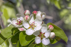 Flowering apple tree. Stock Images