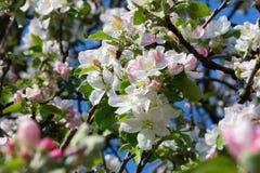 Flowering apple tree. Blooming apple trees in early spring in Belarus royalty free stock images