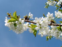 Flowering apple tree. On the blue sky Royalty Free Stock Photo