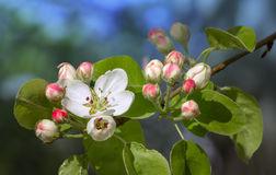 Flowering apple tree. Stock Photos