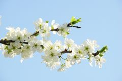 Flowering apple tree branch, exciting spring stock photos