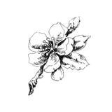 Flowering apple tree branch Stock Photo