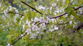 Flowering apple tree branch stock video footage