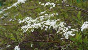 Flowering apple tree branch. 4k real time video stock video footage