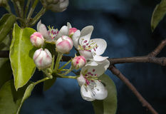 Flowering apple tree. Royalty Free Stock Photography