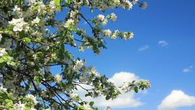 Flowering apple tree branches. Against a blue sky with clouds stock footage